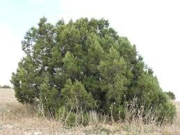 tree texture 0065 texturelib