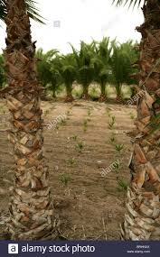 agriculture of ornamental palm trees rows plantation stock photo