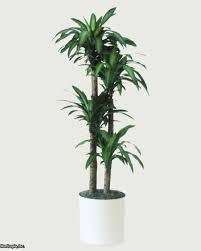 tall indoor plants the 25 best indoor plants braided sansevieria