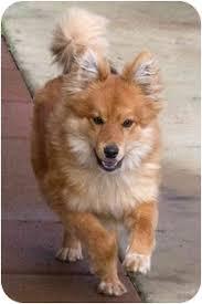 pomeranian x australian shepherd pally adopted puppy sacramento ca pomeranian australian