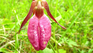 Pink Lady Slipper Flower - pink lady u0027s slipper cypripedium acaule