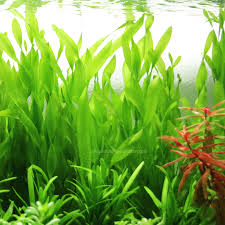 australian native aquatic plants products page 2 aquarium plants factory
