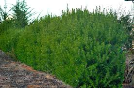 north texas native plants myrica californica pacific wax myrtle windbreak client board