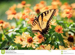 Peach Flowers Butterfly Fluttering Flight Peach Flowers Stock Photo Image