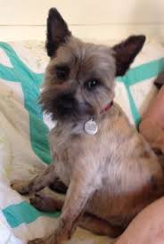 cairn hair cuts dorothy s dog cairn terrier dogs pinterest cairn terriers