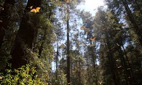 Creie Eating Ffm - extreme weather threatens monarch butterfly habitat stories wwf
