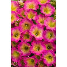 petunia flowers proven winners supertunia daybreak charm petunia live plant