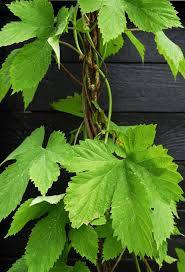 best 25 hops plant ideas on pinterest hops trellis outdoors