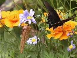 attracting butterflies to the garden hgtv
