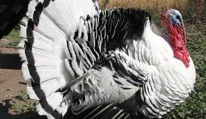 turkeys not just for thanksgiving hobby farms