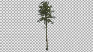 monkey puzzle thin tree branches on a top by zmei116 videohive