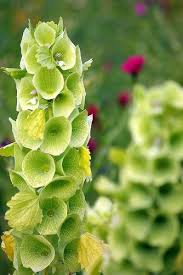 bells of ireland flower 150 bells of ireland in the bathtub shell