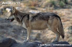 grey wolf photo canis lupus g59636 arkive