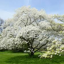 white flowering dogwood white flowering dogwood garden nursery