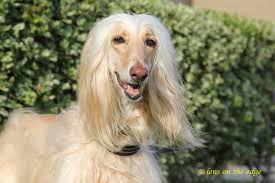 afghan hound weight adoptable dogs afghan hound rescue