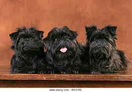 affenpinscher uk breeders affenpinscher dogs stock photos u0026 affenpinscher dogs stock images