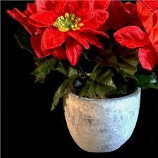 artificial poinsettia plant flowers potted plants