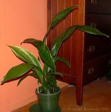 aggregata plants u0026 gardens classic common house plant aspidistra