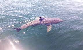 video shows great white shark in cape cod bay new england