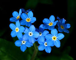 forget me not seed packets forget me not seeds ebay