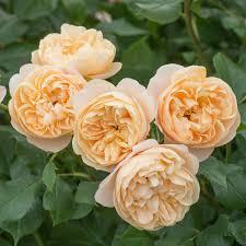 what colour paper did roald dahl write on roald dahl david austin roses roald dahl enlarge image enlarge image enlarge image