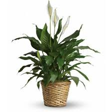 flowers to go flowering plants blooming plants emerald garden baskets