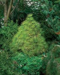 conifers for shade gardening