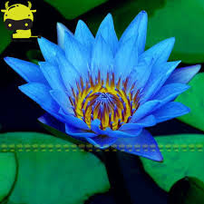 blue seed compare prices on blue lily seeds online shopping buy low price