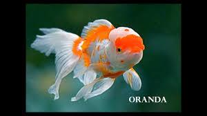 types of aquarium types of goldfish painting technique pinterest goldfish