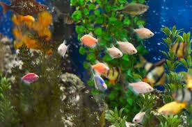 freshwater fish starting a freshwater aquarium bobspets net