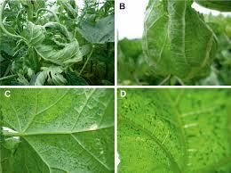 Symptoms Of Viral Diseases In Plants - symptoms exhibited by okra enation leaf curl virus infected okra