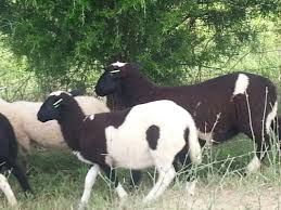 katahdin lamb diamond family farm