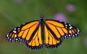 monarch butterfly ovlc ovlc
