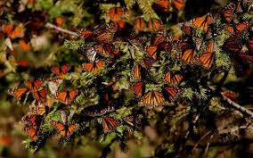 mystery solved how monarch butterflies navigate from canada to