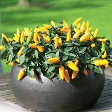 pepper ornamental cubana yellow edible pepper 20 seeds