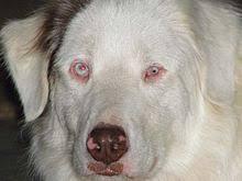 australian shepherd top speed australian shepherd dog information