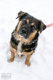 belgian shepherd x rottweiler 11 crazily cute rottweiler mixes you have to check out now
