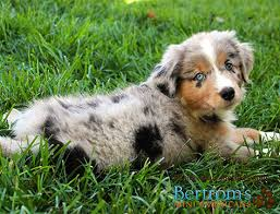 australian shepherd miniature about breeder mini american shepherd puppies for sale australian