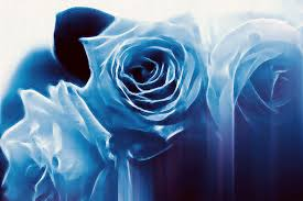Blue Roses Blue Roses 2 Free Stock Photo Public Domain Pictures