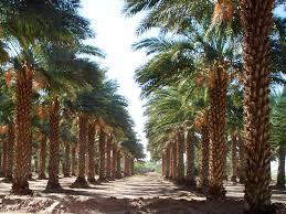 palm trees grow tips san diego west coast trees part 3