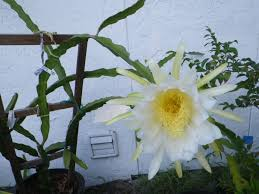 how to train your dragon fruit the tropical homestead