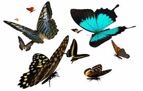 the butterfly site the 1 butterflies information source