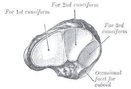 Os Calcaneus Os Naviculare Wikipedia