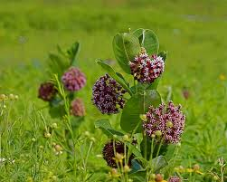 native wisconsin plants purple wildflowers in iowa kj photography and other ideas for