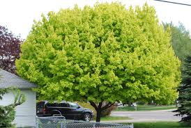 ornamental trees dirt simple