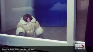 Ikea Monkey Meme - monkey wearing coat loose in ikea youtube
