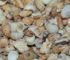assorted seashells assorted seashells medium johannah basford shells canvas