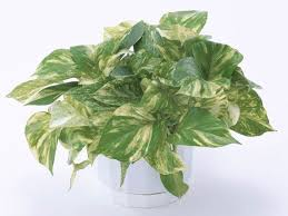 Indoor Tropical Plants For Sale - the easiest indoor house plants that won u0027t die on you today com