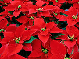 ask a master gardener caring for poinsettias and potted christmas