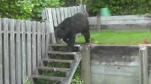 2 big bears in backyard with only my screen patio door between us